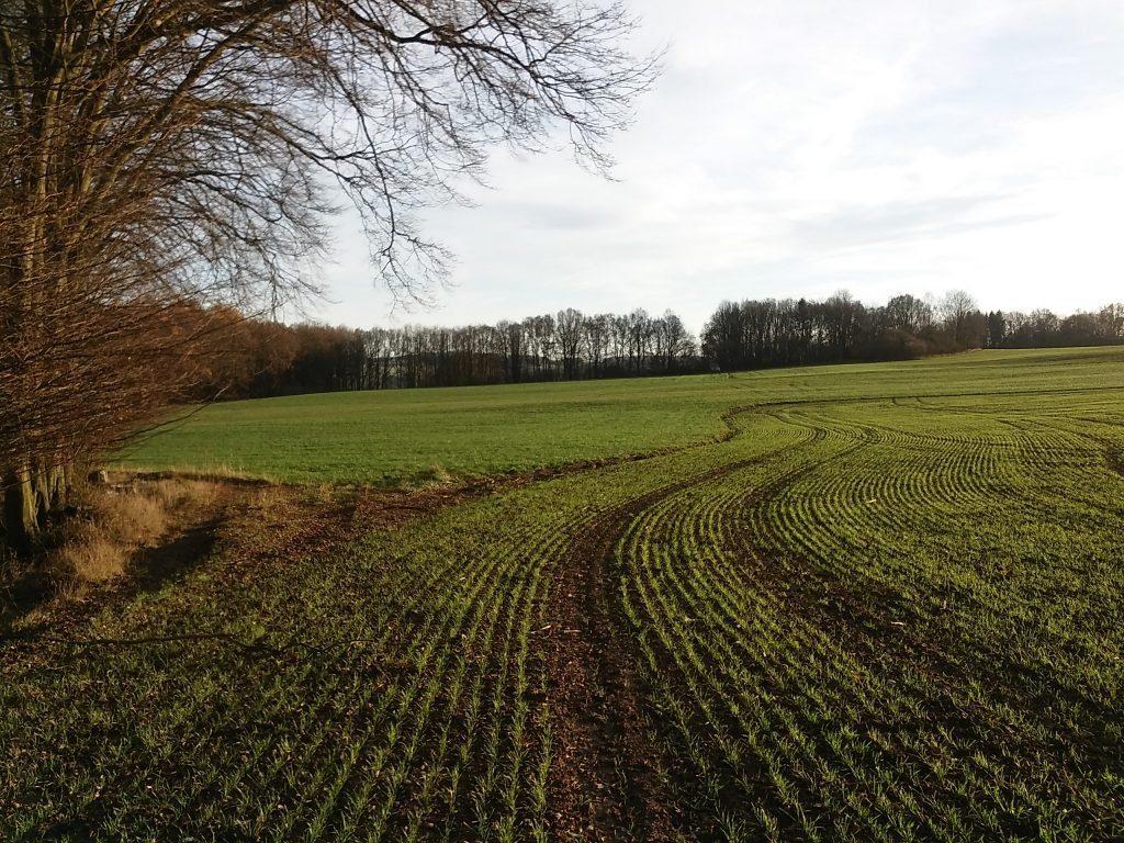 Vzešlý porost pšenice ozimé